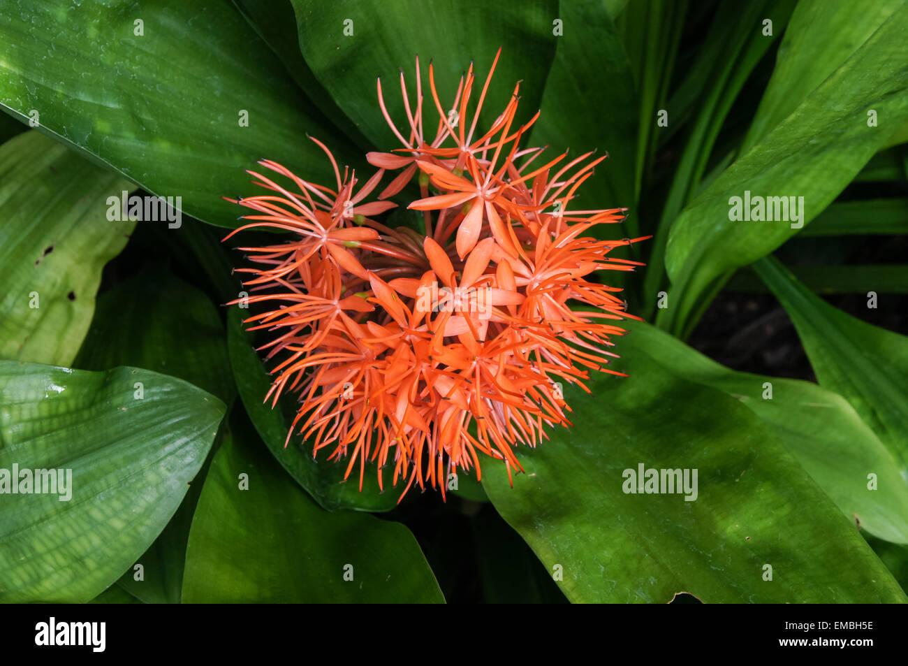 Rote Blume der Scadoxus cinnabarinus Pflanze Stockfoto