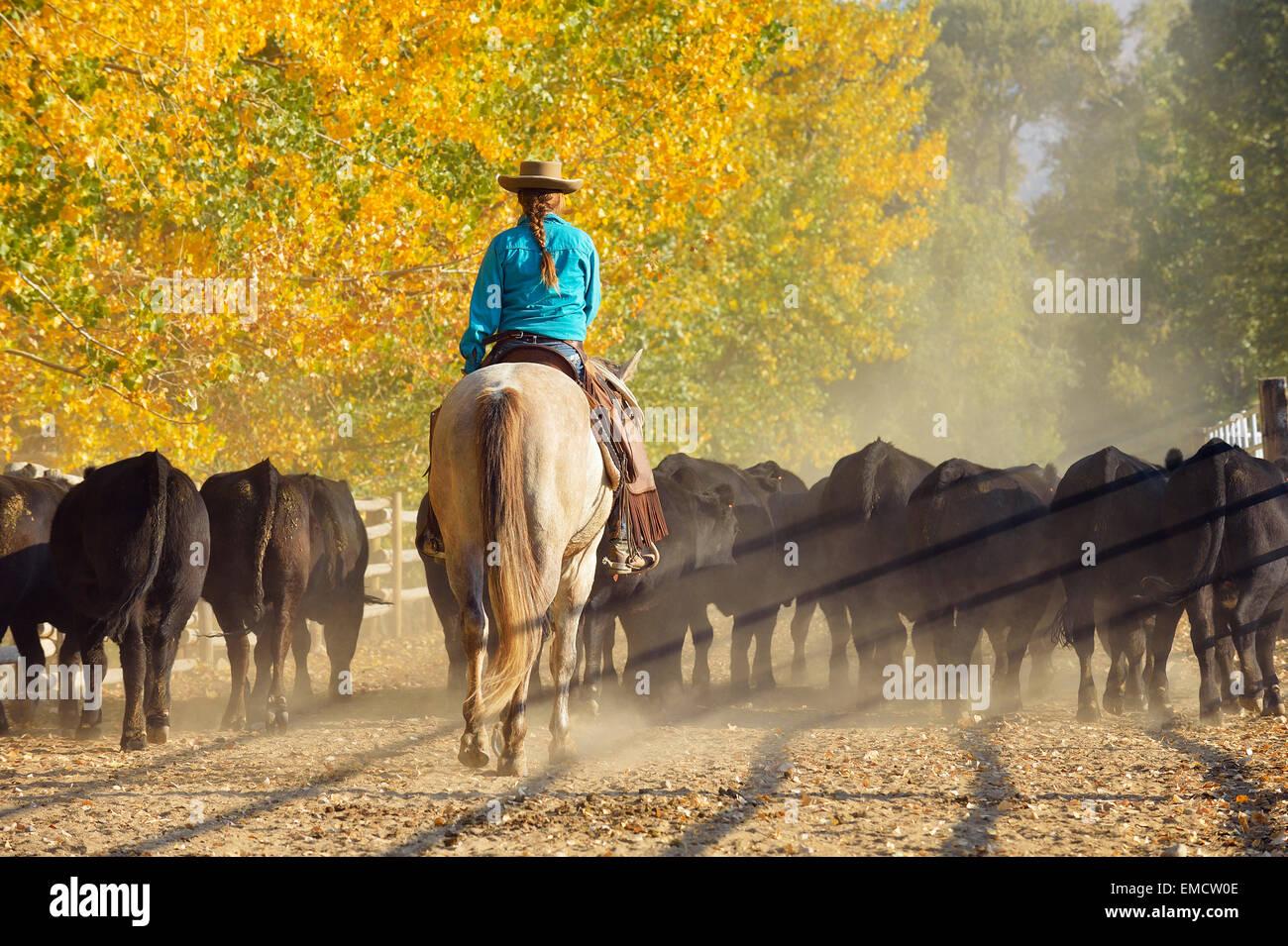 USA, Wyoming, Cowgirl reiten Pferde und Rinder hüten Stockbild