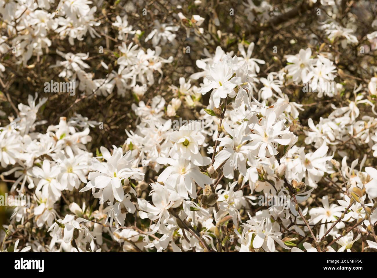 Erste Blumen Fruhling Viele Sanfte Weisse Farbton Magnolie Blume