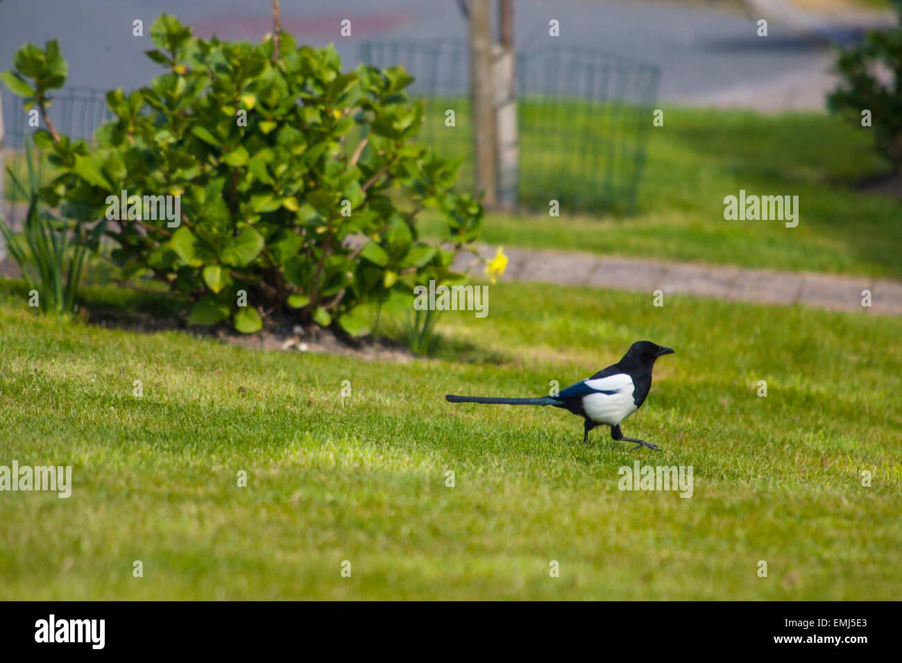 Vogel, Elster, Garten, Wandern, Isle Of Wight, England, Vereinigtes Königreich, Stockbild