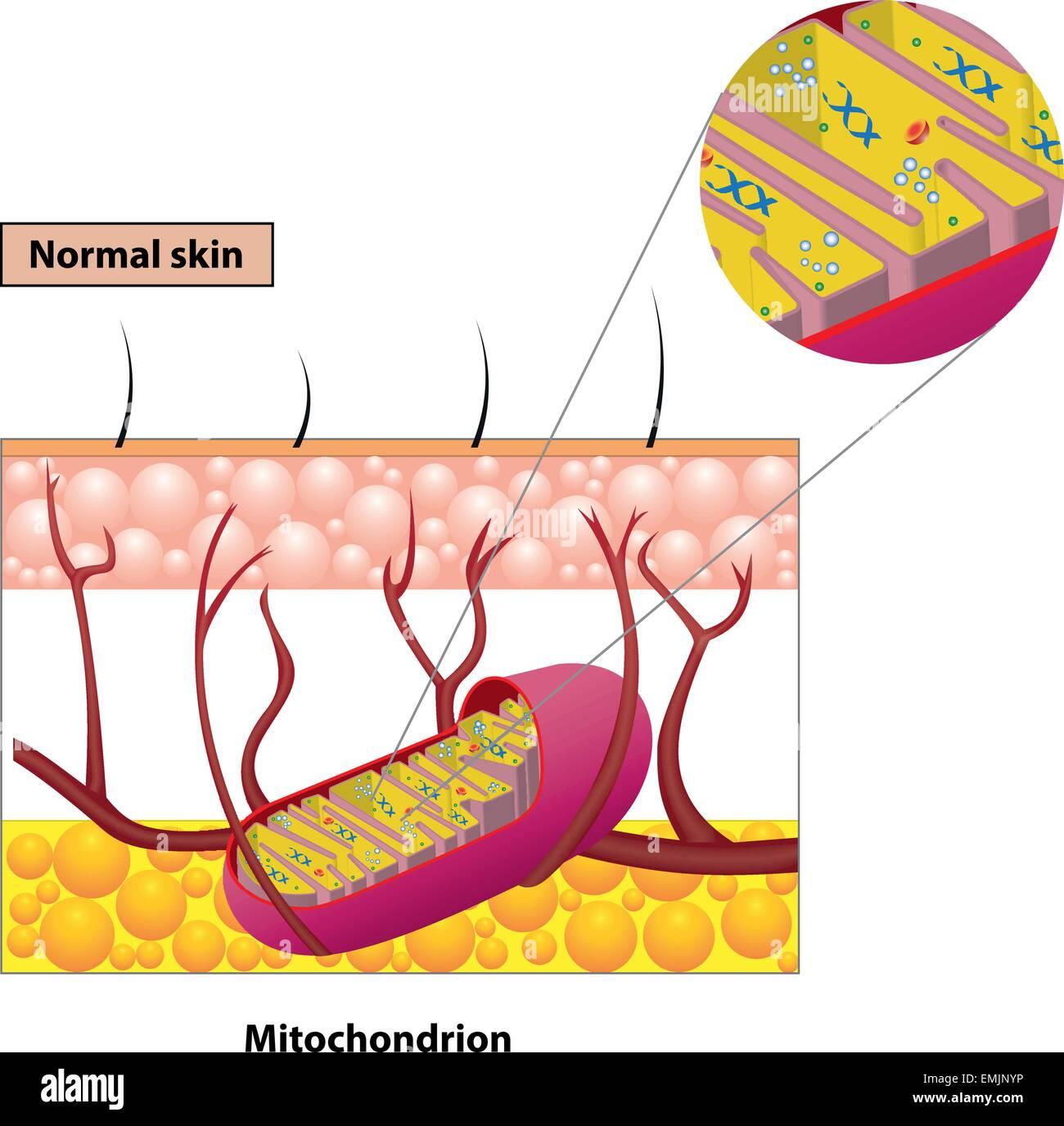 Mitochondrial Matrix Protein Stockfotos & Mitochondrial Matrix ...