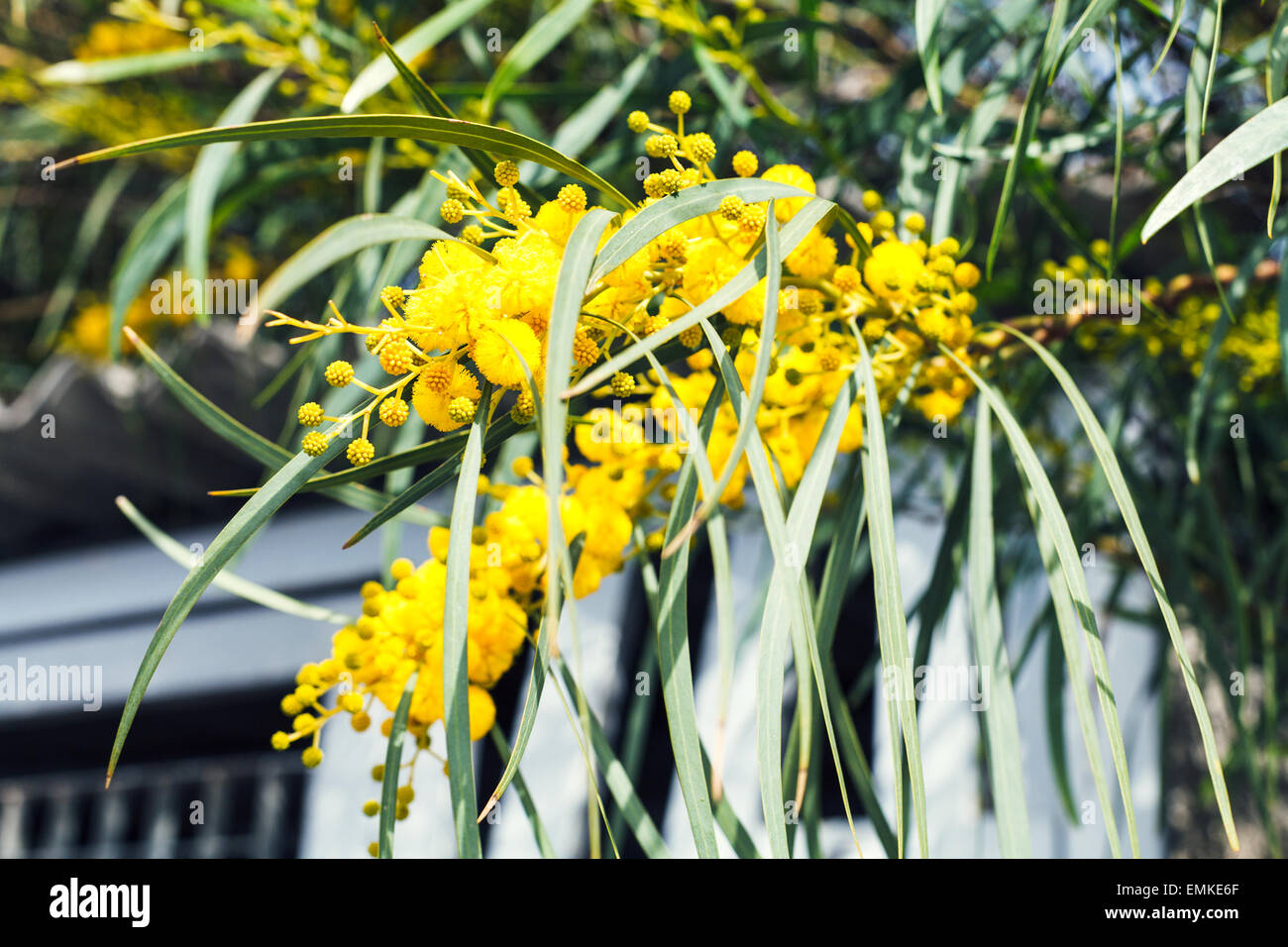 mimosa tree stockfotos mimosa tree bilder seite 3 alamy. Black Bedroom Furniture Sets. Home Design Ideas