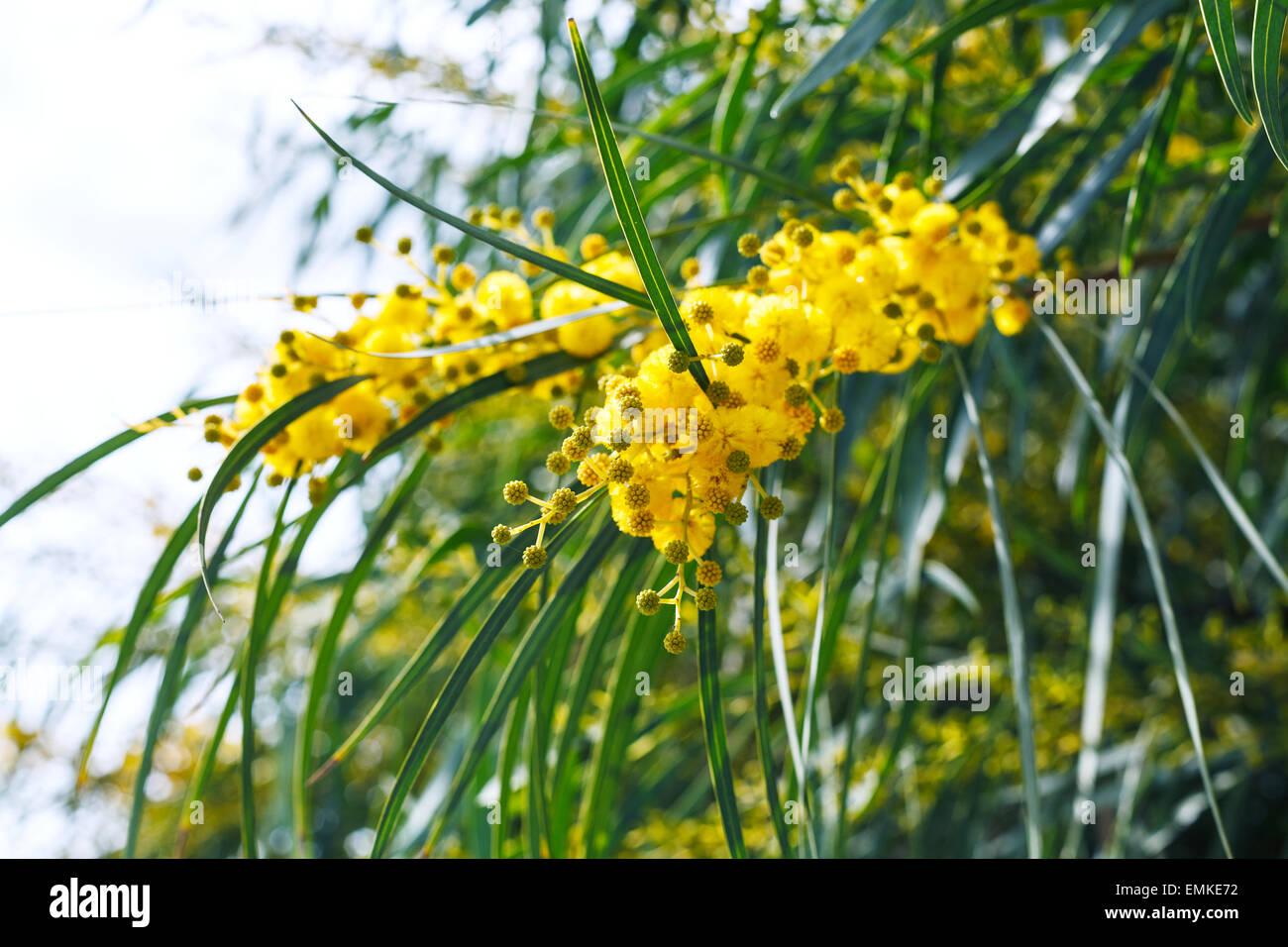 gelbe bl ten der mimose baum acacia pycnantha golden. Black Bedroom Furniture Sets. Home Design Ideas