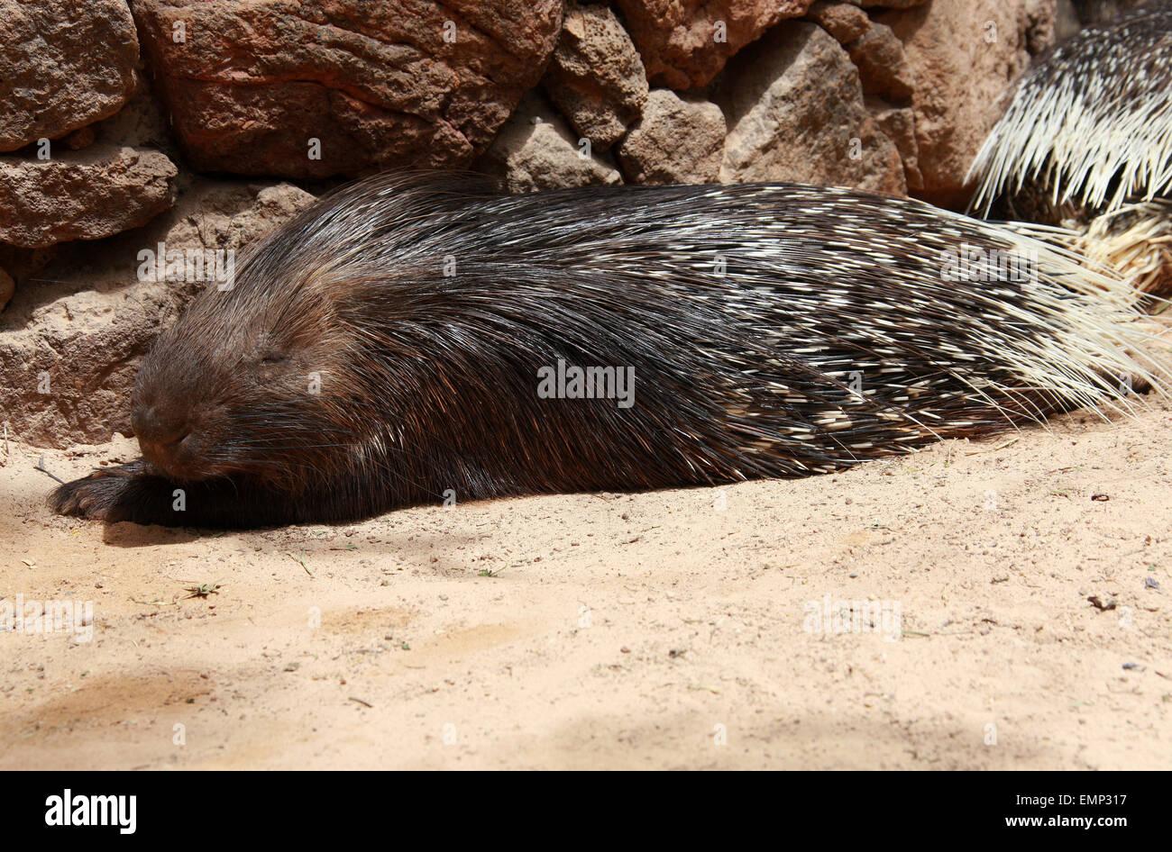 Crested Stachelschwein, Hystrix Cristata, Hystricidae, Mammalia.  Man findet in Italien, Nordafrika und Sub-Sahara-Afrika. Stockfoto