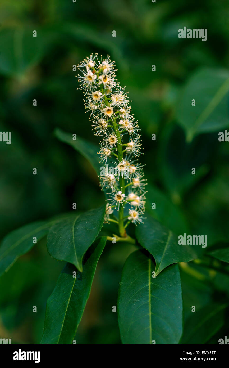 Kirschlorbeer, Prunus laurocerasus Stockbild