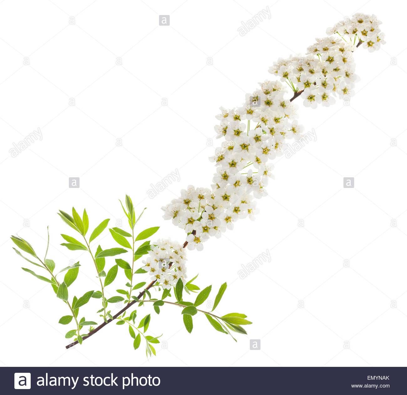 Weißdorn (Crataegus Monogyna) Zweig mit Blumen auf einem weißen Hintergrund isoliert Stockbild