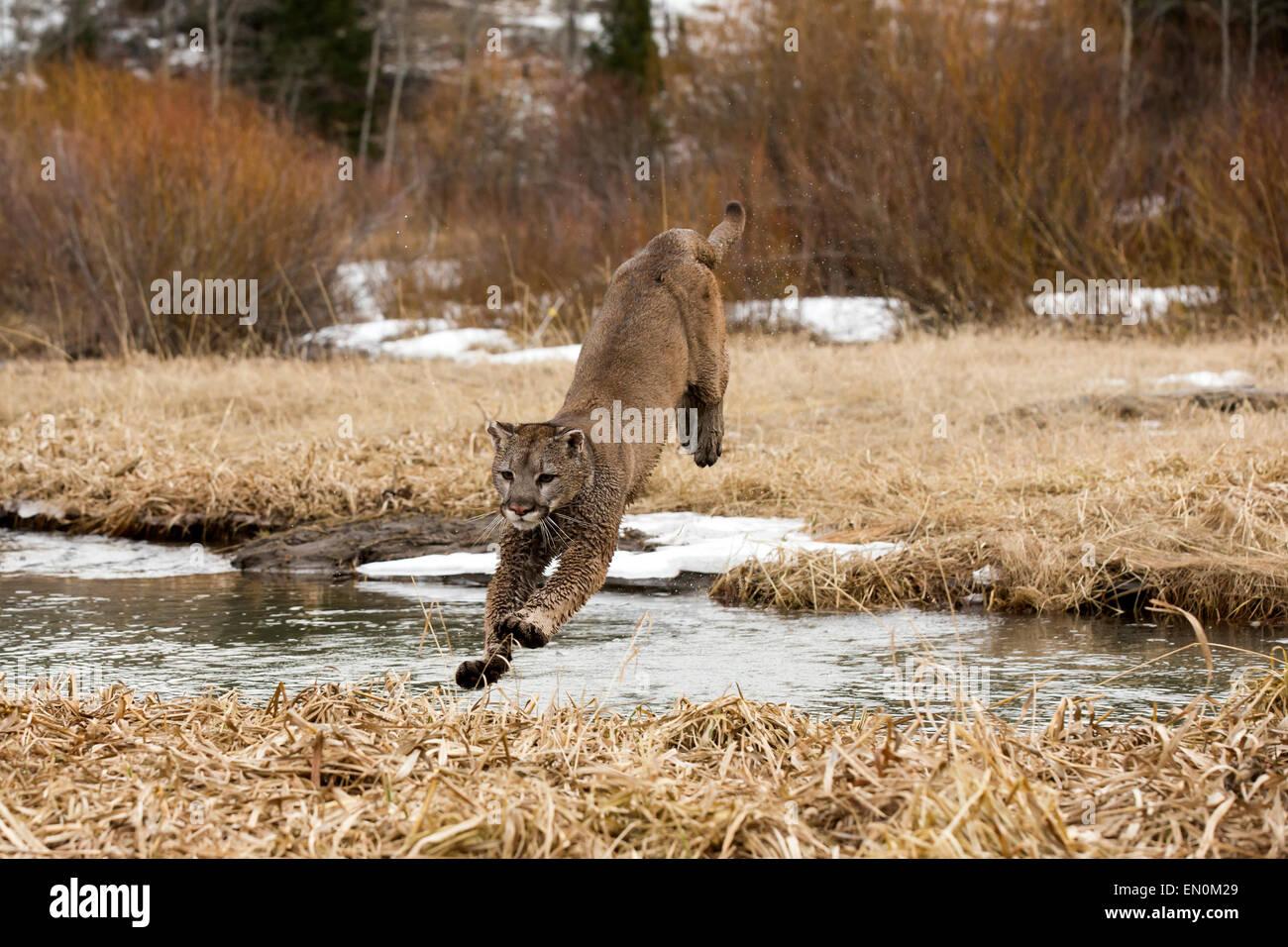 PUMA (Felis Concolor) durch die Luft springen, überqueren Sie den Fluss im Winter Stockbild