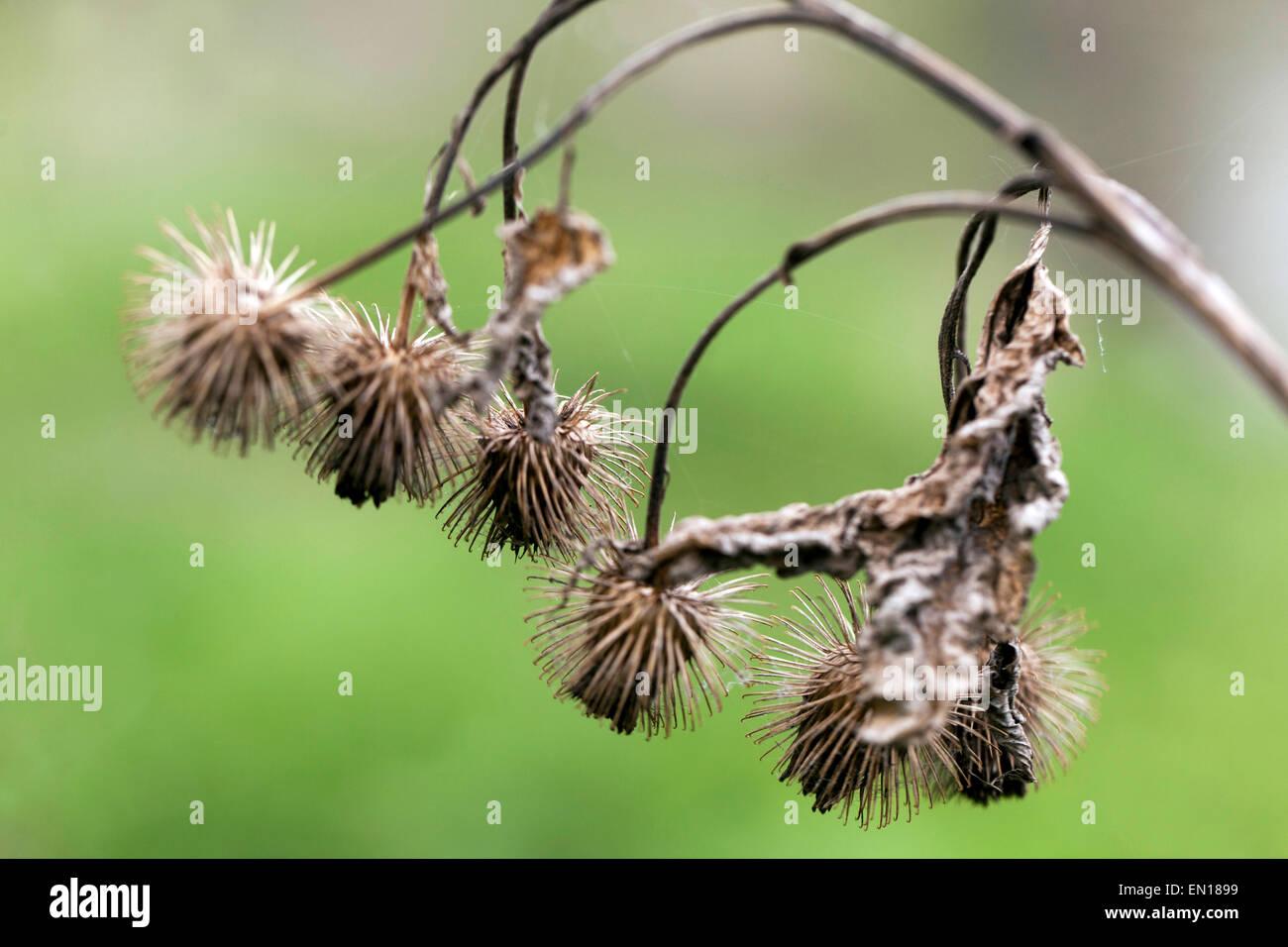 Trockene Samen Klette Köpfe mit Haken, Holz Klette, Arctium Nemorosum. Tramper, Haken und Ösen Verschluss Stockbild