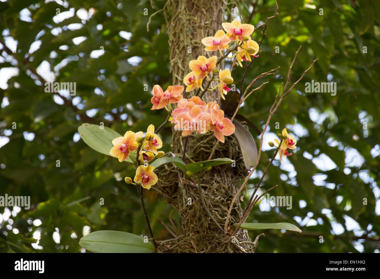 phalaenopsis orchideen auf einem baum stockfoto bild. Black Bedroom Furniture Sets. Home Design Ideas