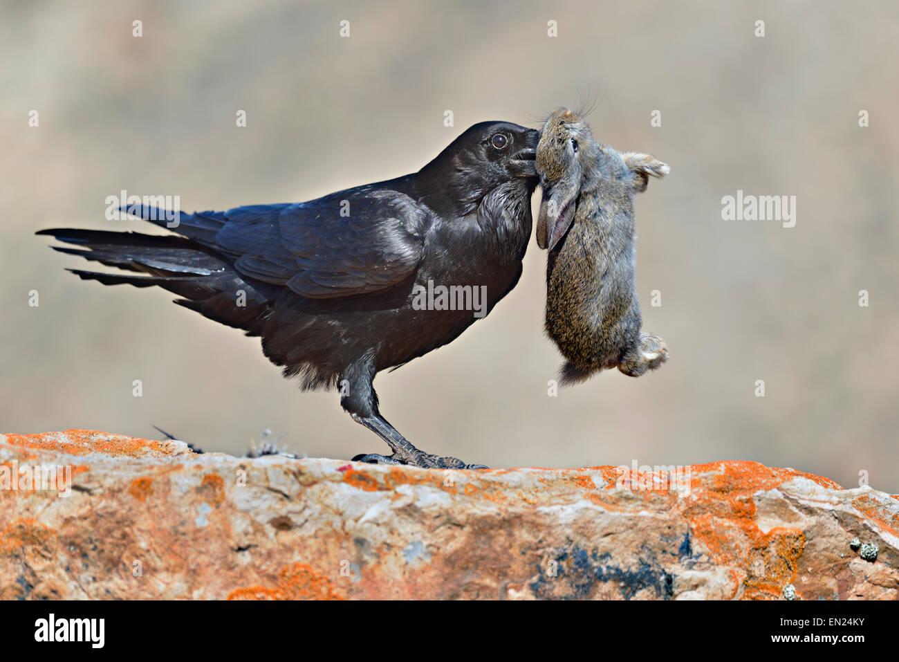Corvus Corax Tingitanus, gemeinsame Raven Jagd auf ein wilden Kaninchen Stockbild