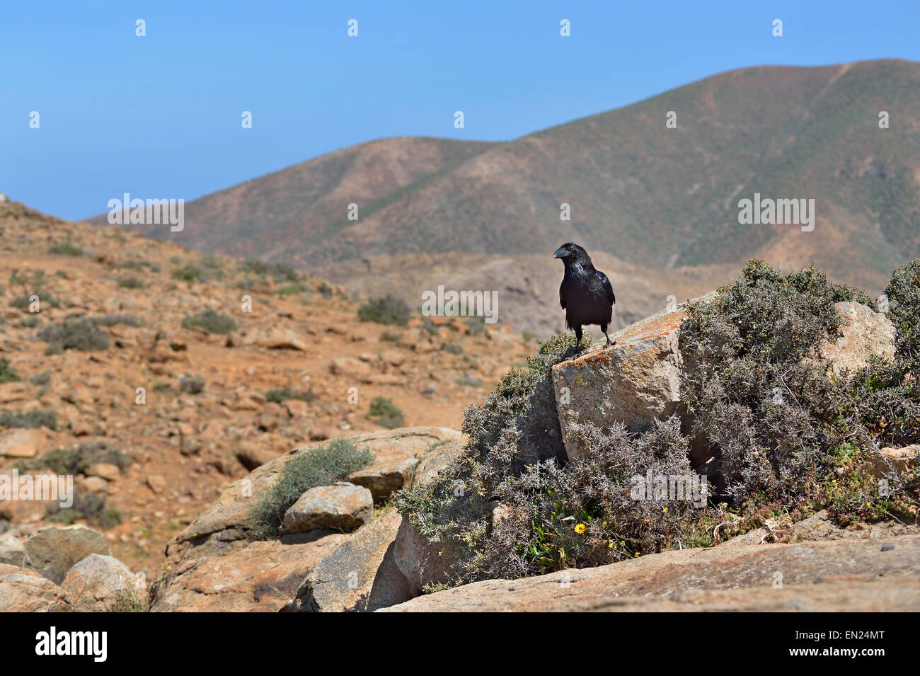 Kanarischen Inseln, Fuerteventura, Parque Rural, Corvus Corax Tingitanus, gemeinsame Raven Stockbild