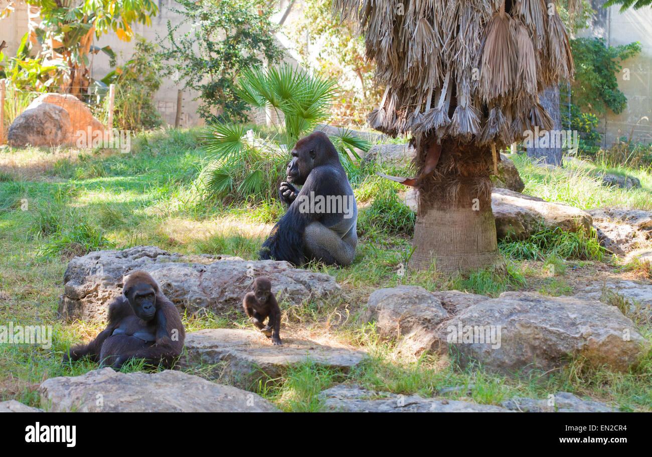 Gorilla-alpha-Männchen mit einem Weibchen und einem spielen baby Stockbild