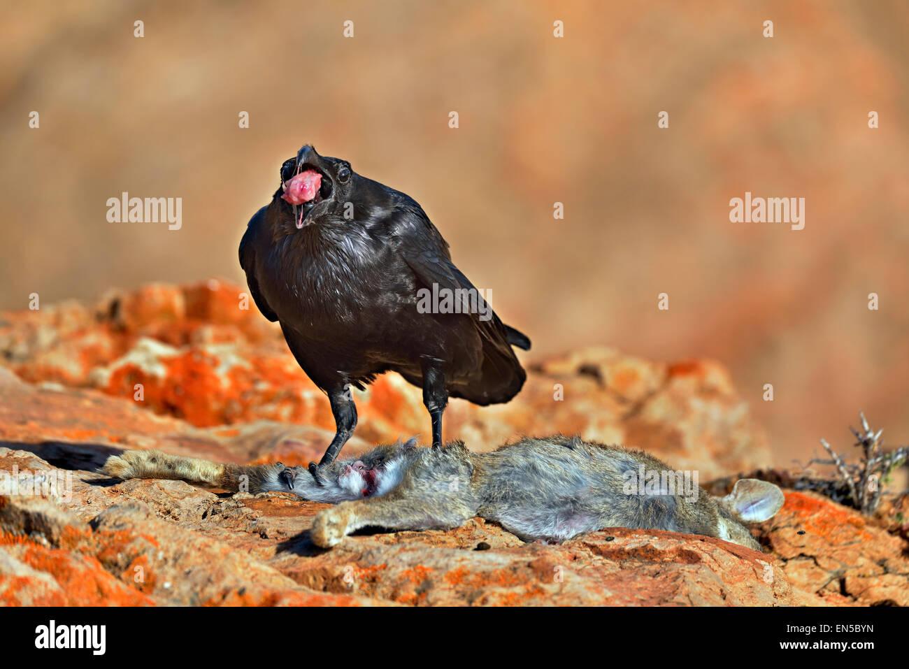 Fuerteventura Insel, ländliche NP Corvus Corax Tingitanus, gemeinsame Raven ein wilden Kaninchen Essen Stockbild