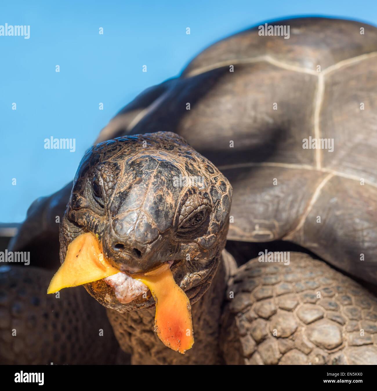 Seychellen-Riesenschildkröte Stockbild