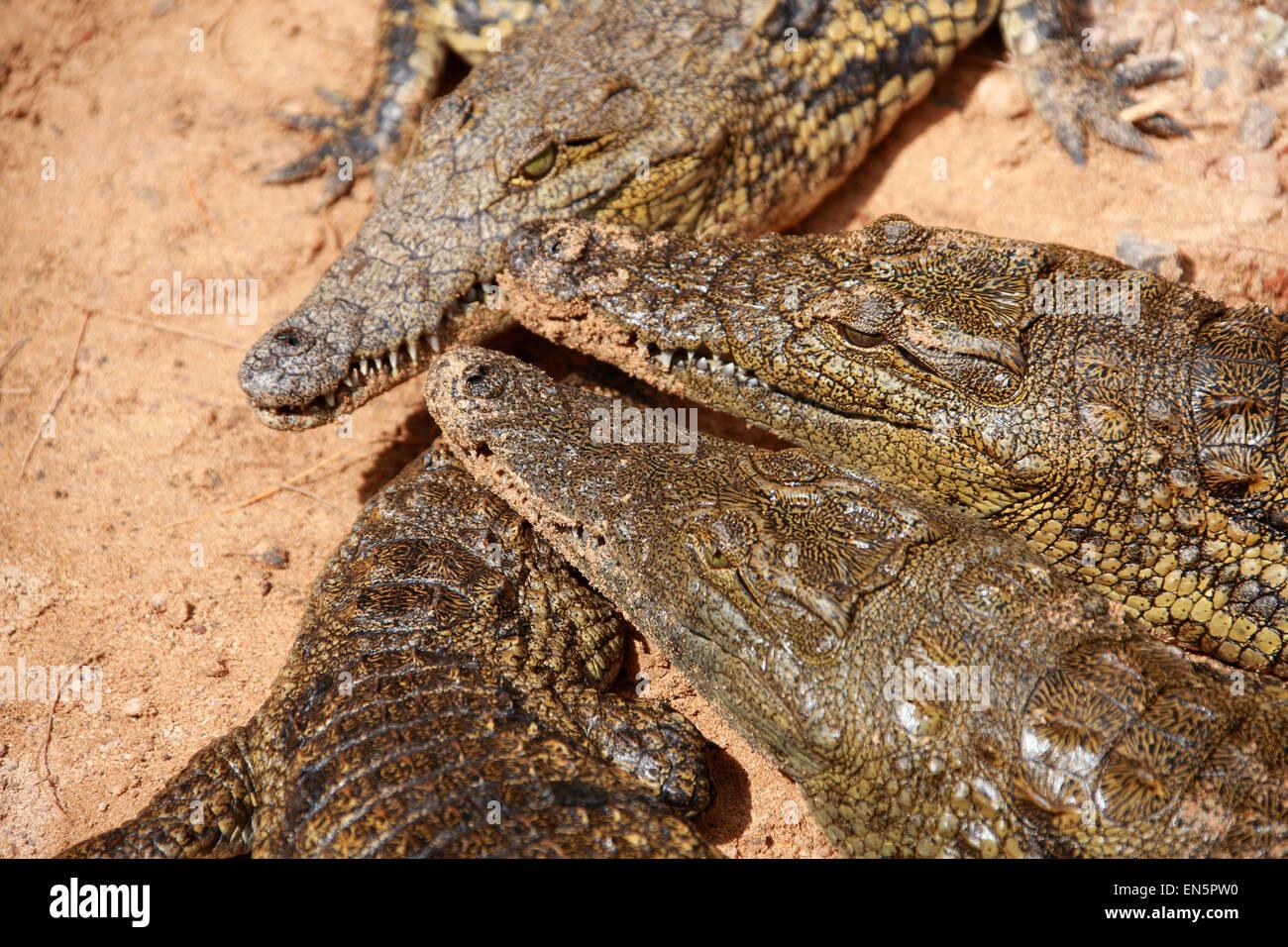 Nil-Krokodil, Crocodylus Niloticus, Crocodylidae. Stockfoto