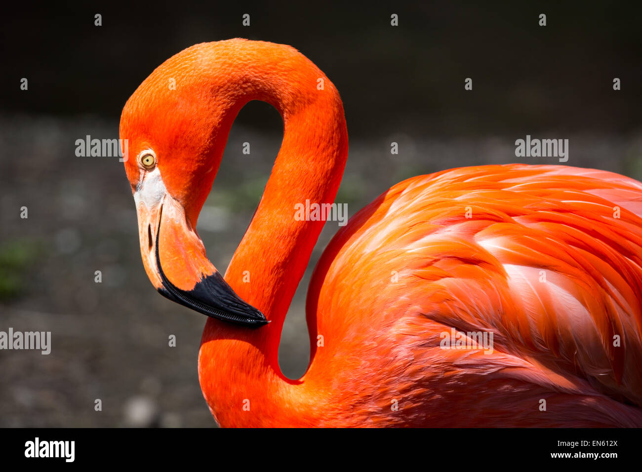Amerikanische Flamingo Stockbild