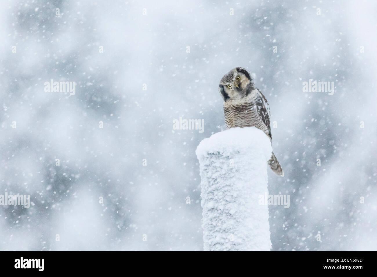 Nördlichen Sperbereule, Surnia Ulula, sitzt auf einem Telefonmast im Schneesturm, Blick in die Kamera, Gällivare, Stockbild