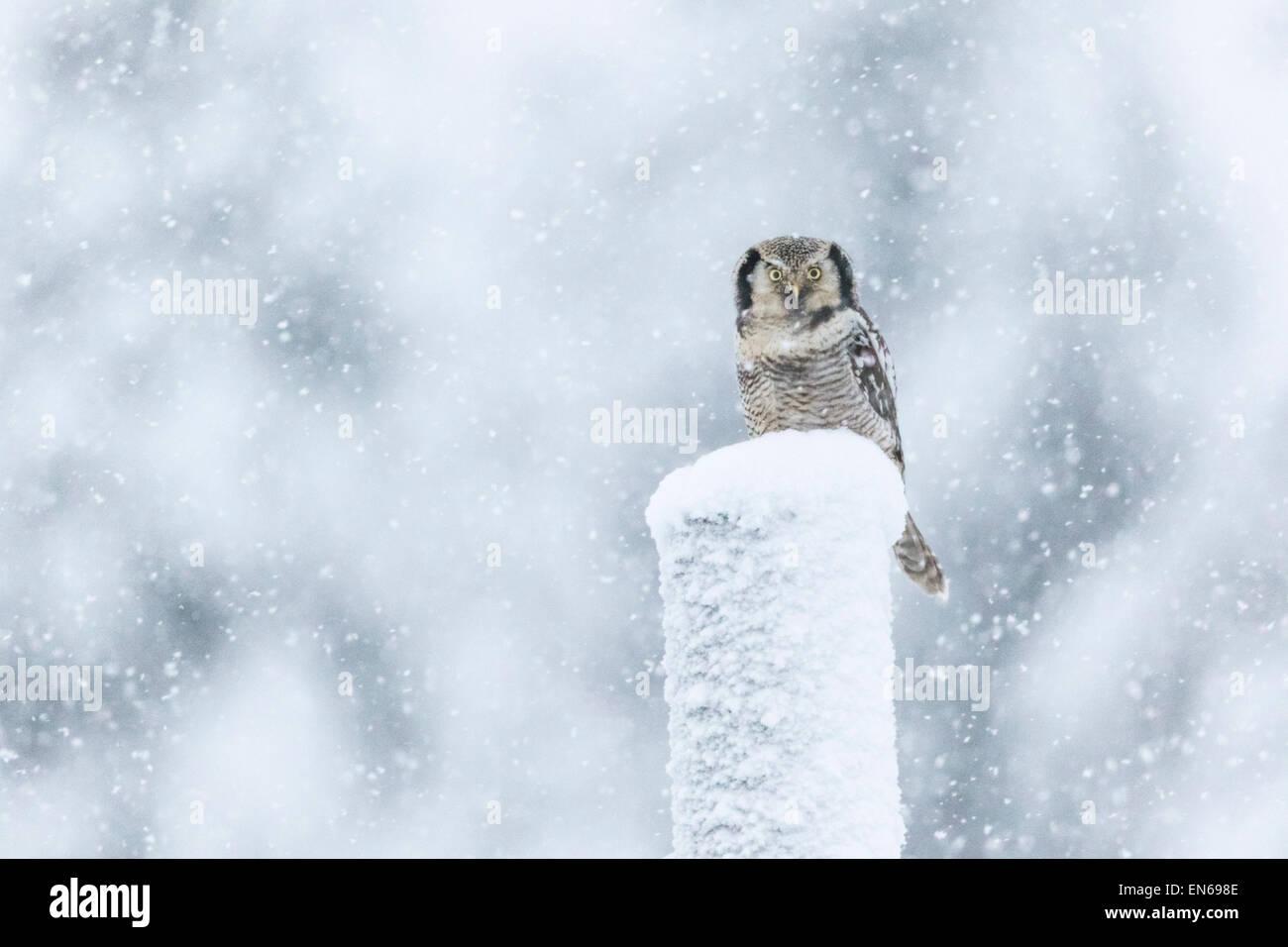 Nördlichen Sperbereule, Surnia Ulula, sitzt auf einem Telefonmast im Schneesturm, Blick in die Kamera, Gällivare, Stockfoto