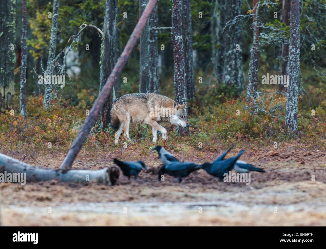 Grauer Wolf im Wald und Krähen und Raben zu Fuß davor, Kuhmo, Finnland Stockbild