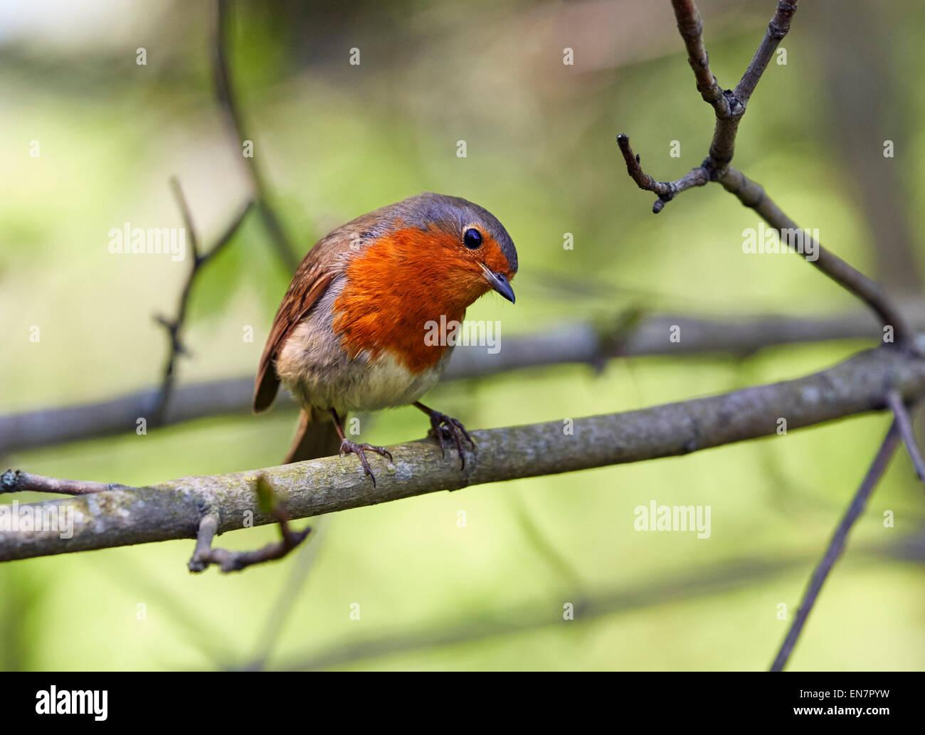 Robin thront auf einem Ast. Hurst Wiesen, West Molesey Surrey, England. Stockbild