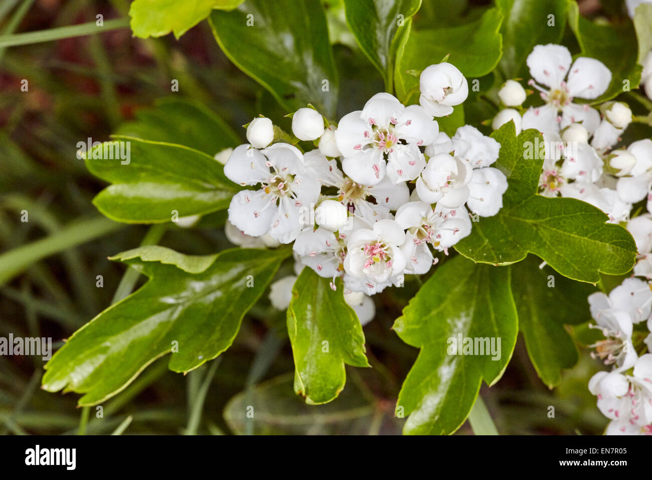 Hagedorn in Blume, ein Symbol des Frühlings.  Hurst Wiesen, West Molesey Surrey, England. Stockbild