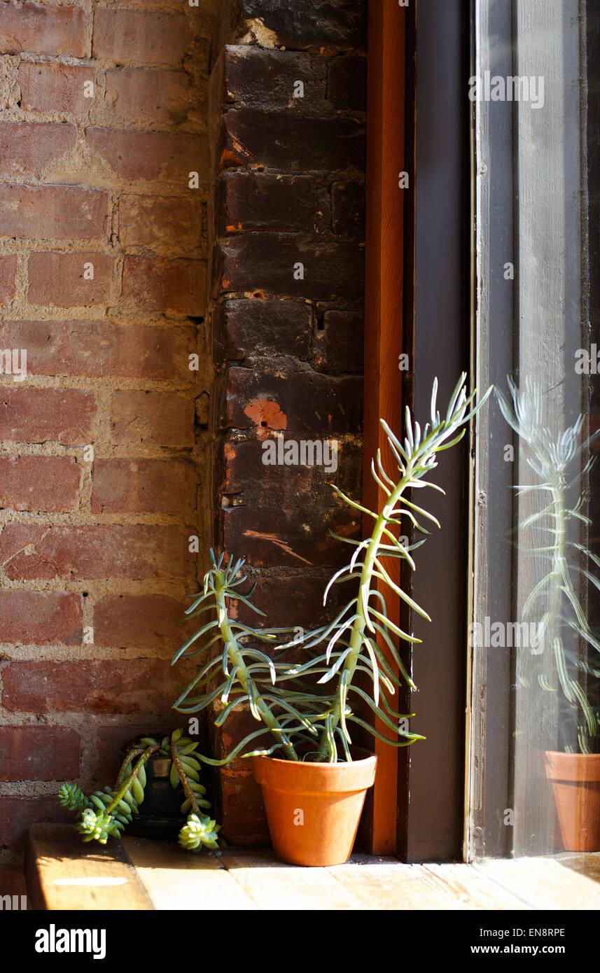 Sukkulenten sitzen auf einem hölzernen Regal gegen eine Mauer in einem sonnigen Fenster. Stockbild