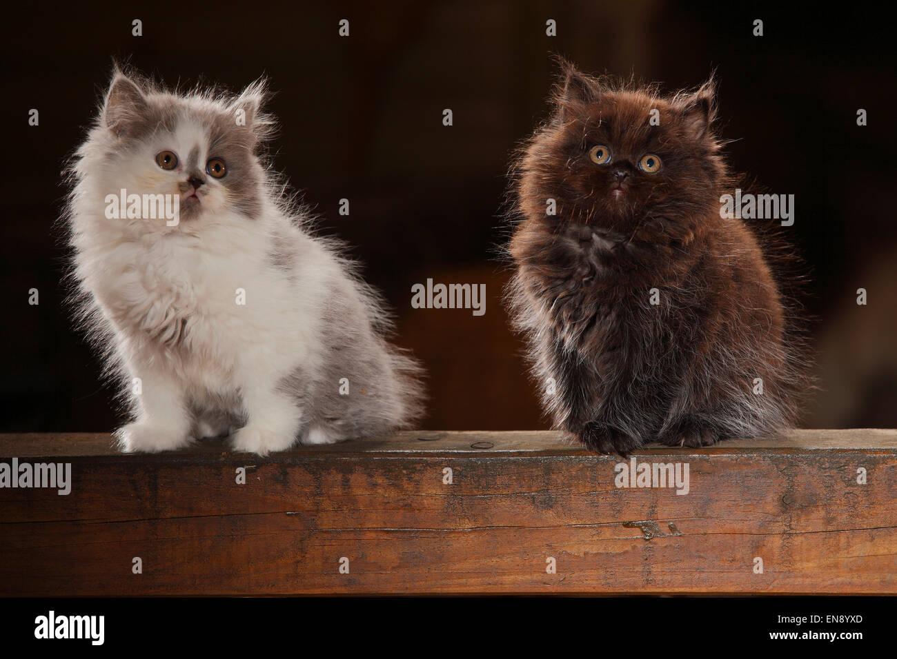 british longhair katze k tzchen schwarz und blau wei 8 wochen britisch langhaar kaetzchen. Black Bedroom Furniture Sets. Home Design Ideas