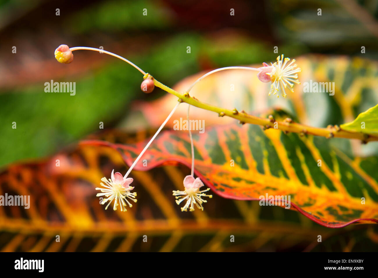 Kuba-Vinales tropische Pflanze Pflanzen Blume Blumen flora Stockbild