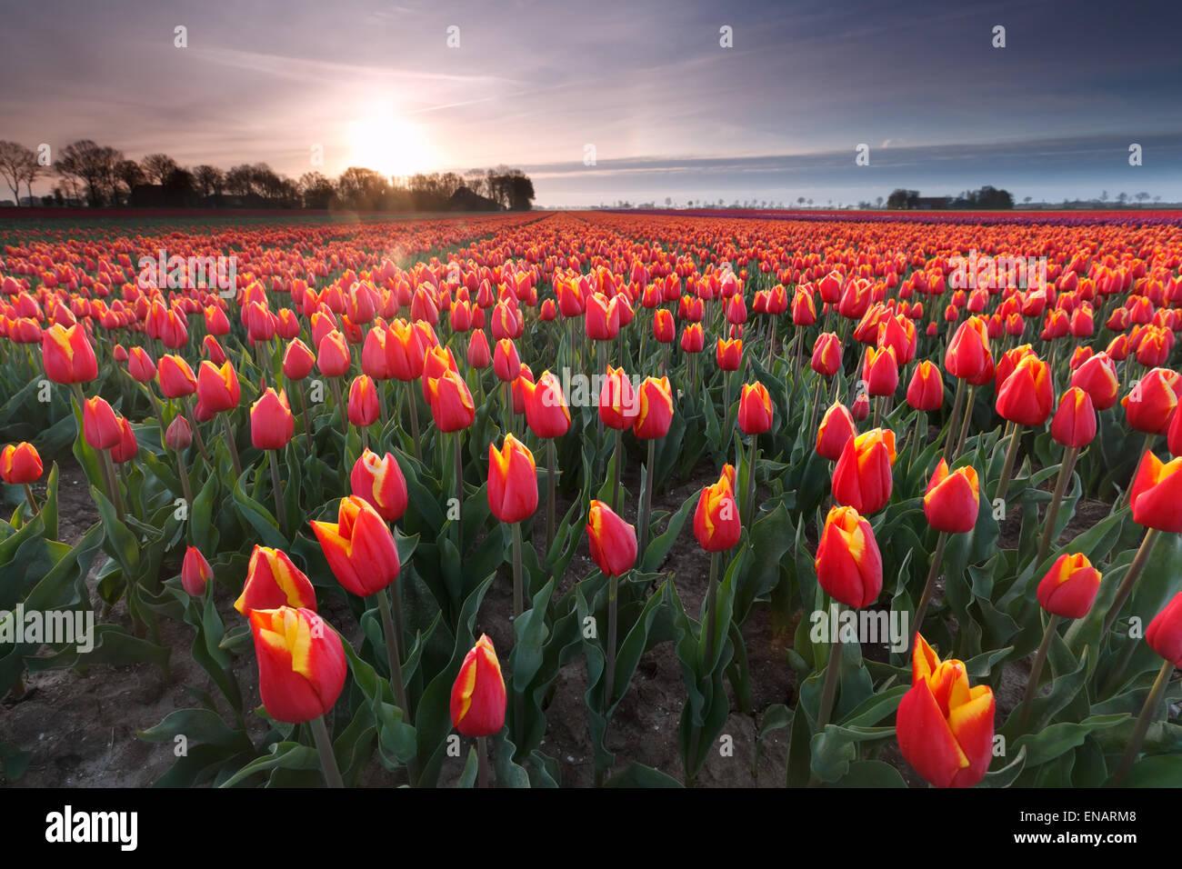 Sonnenaufgang über dem roten Tulpenfeld, Flevoland, Niederlande Stockbild