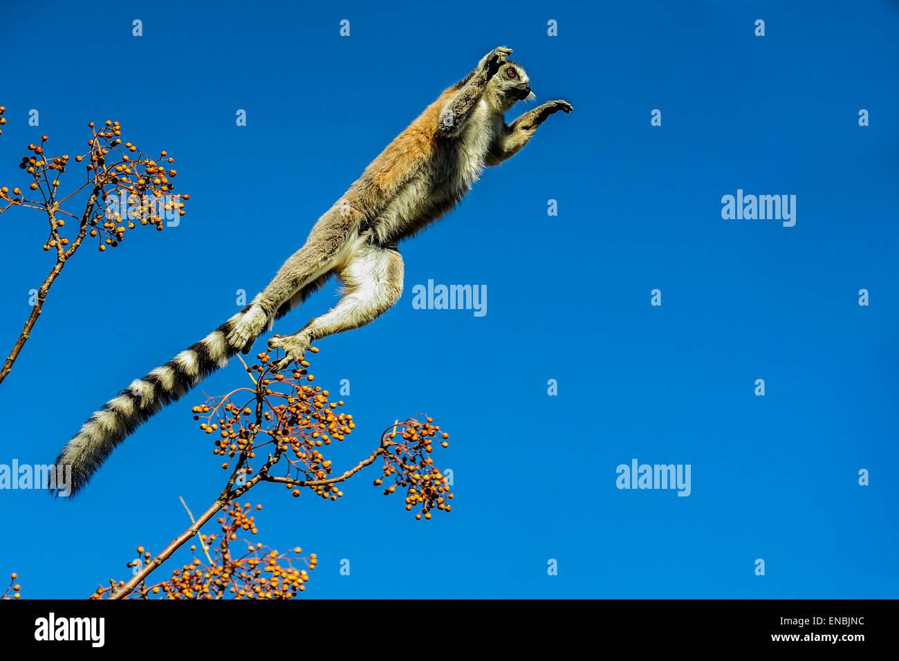 Katta Lemur Catta, Anja, Madagaskar Stockbild