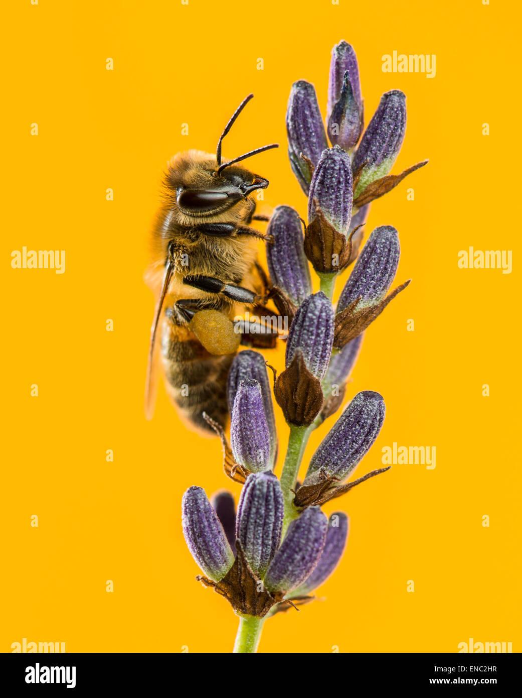 Honigbiene, Apis Mellifera, Nahrungssuche auf Lavendel vor einem orangefarbenen Hintergrund Stockbild