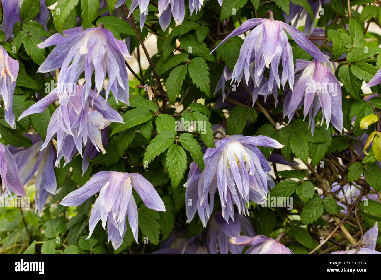 clematis macropetala stockfotos clematis macropetala bilder alamy. Black Bedroom Furniture Sets. Home Design Ideas