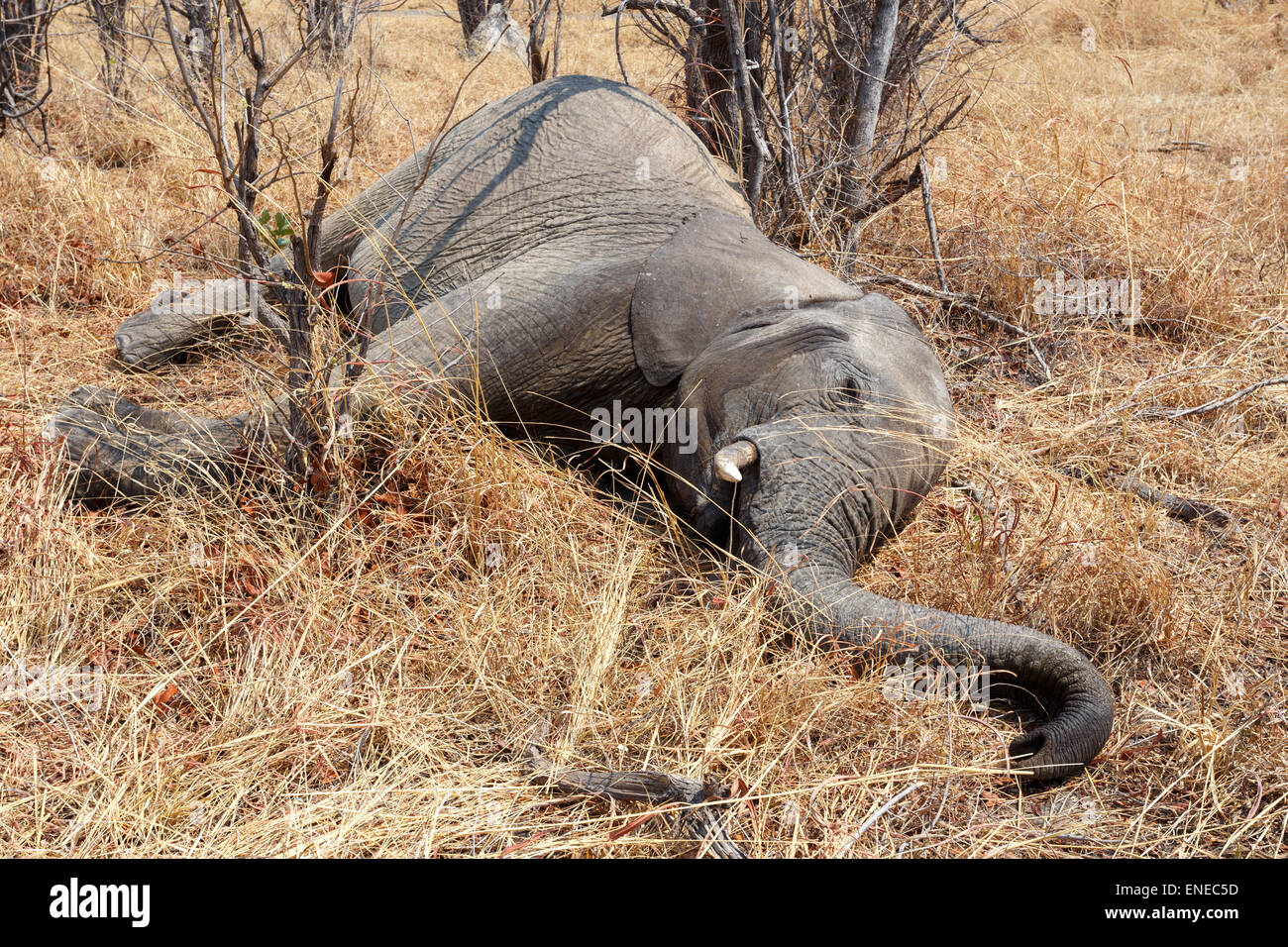 Tote Elefanten Botswana