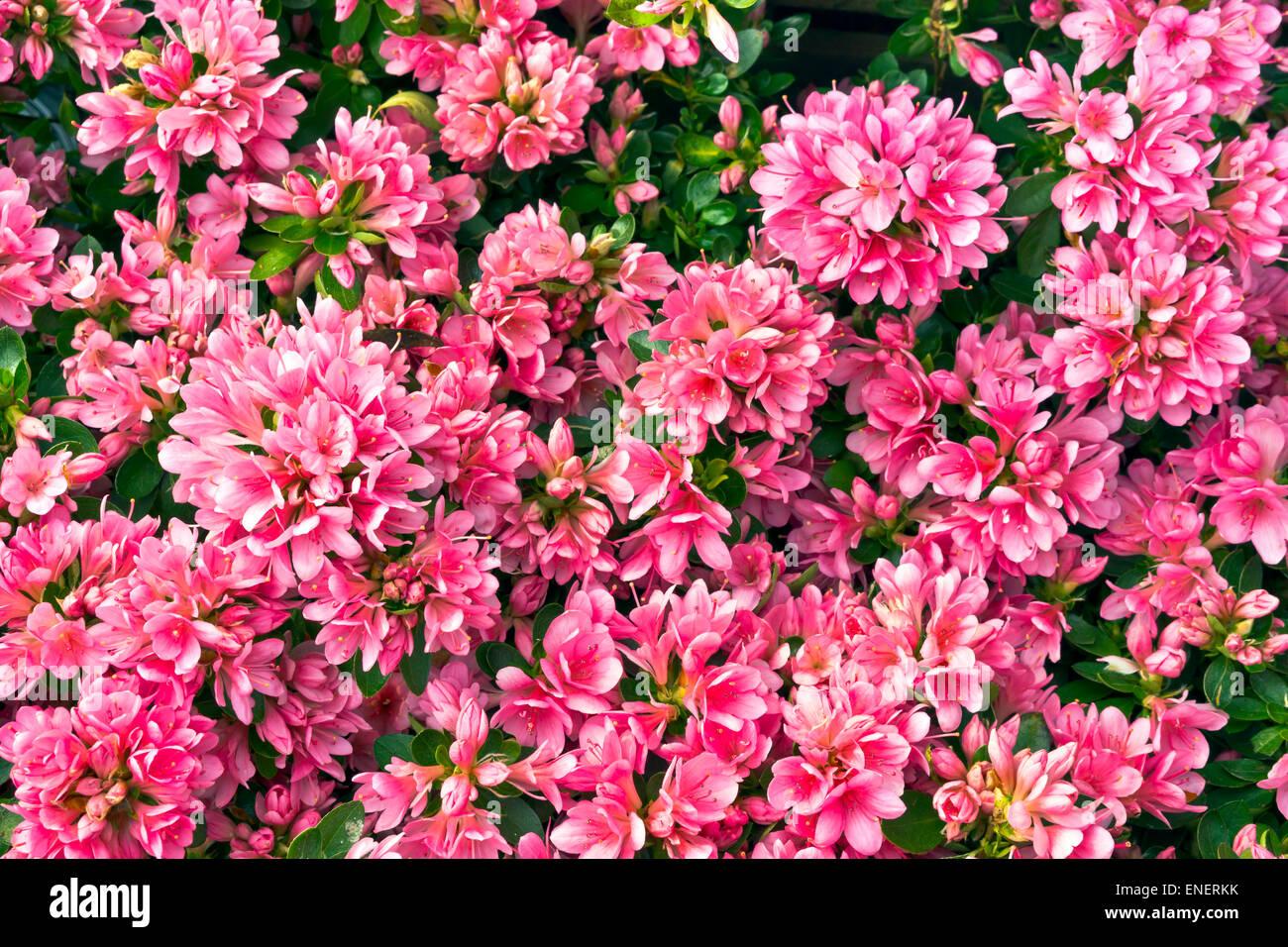 Nahaufnahme einer Azalee Blütenstrauch. Stockfoto