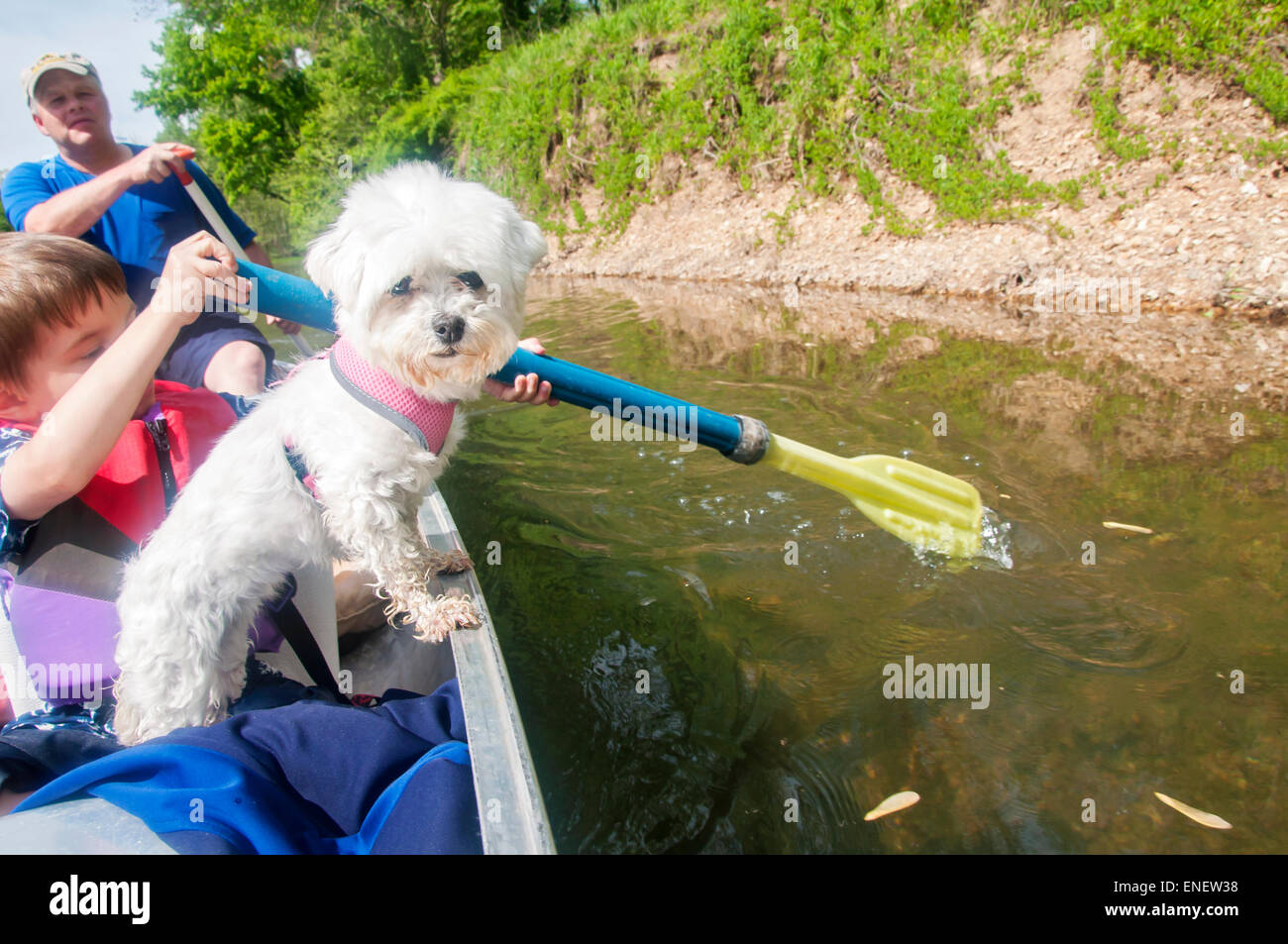 Malteser Hund im Kanu Stockbild