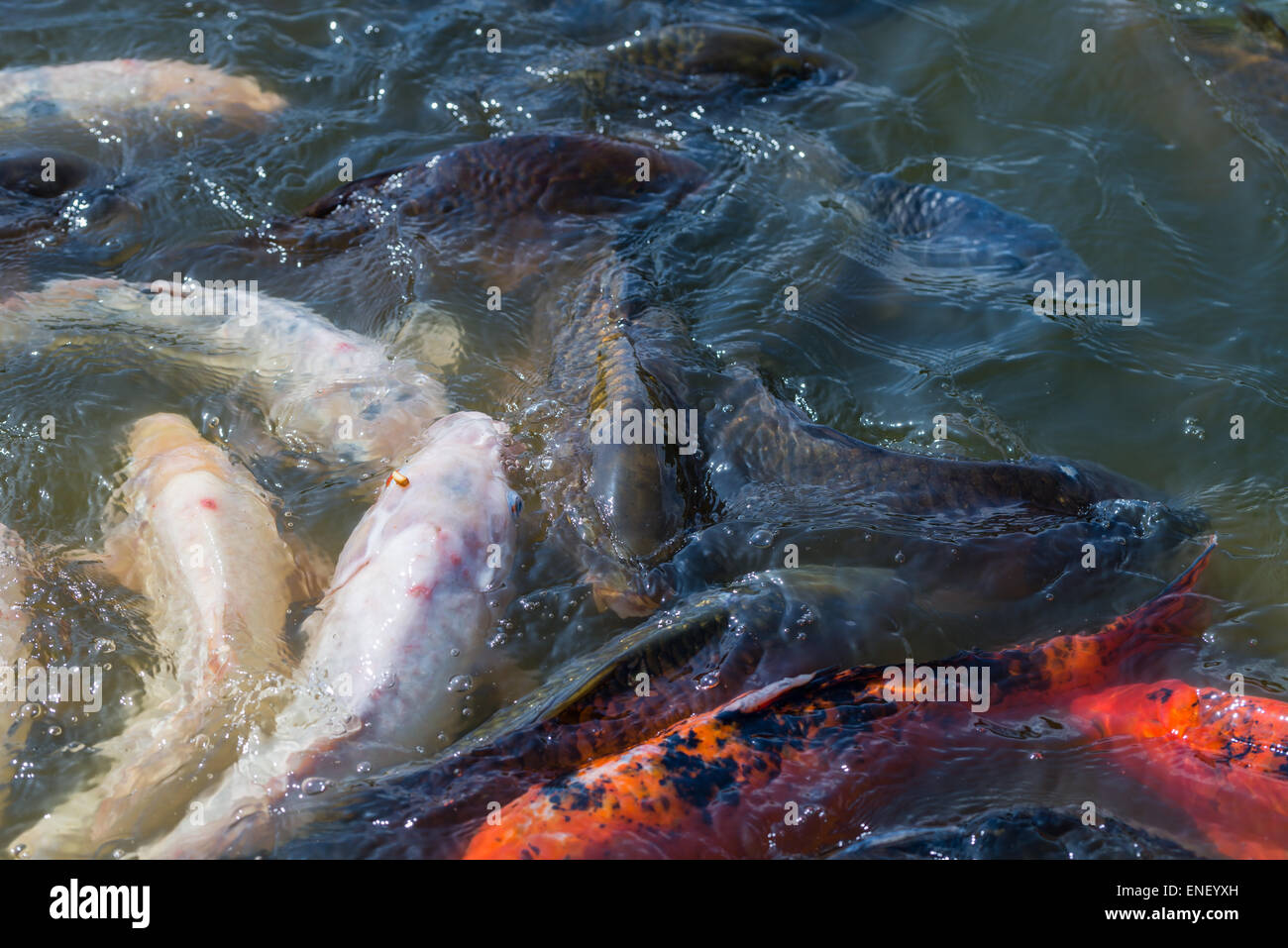 White koi fish stockfotos white koi fish bilder alamy for Welche fische passen zu kois