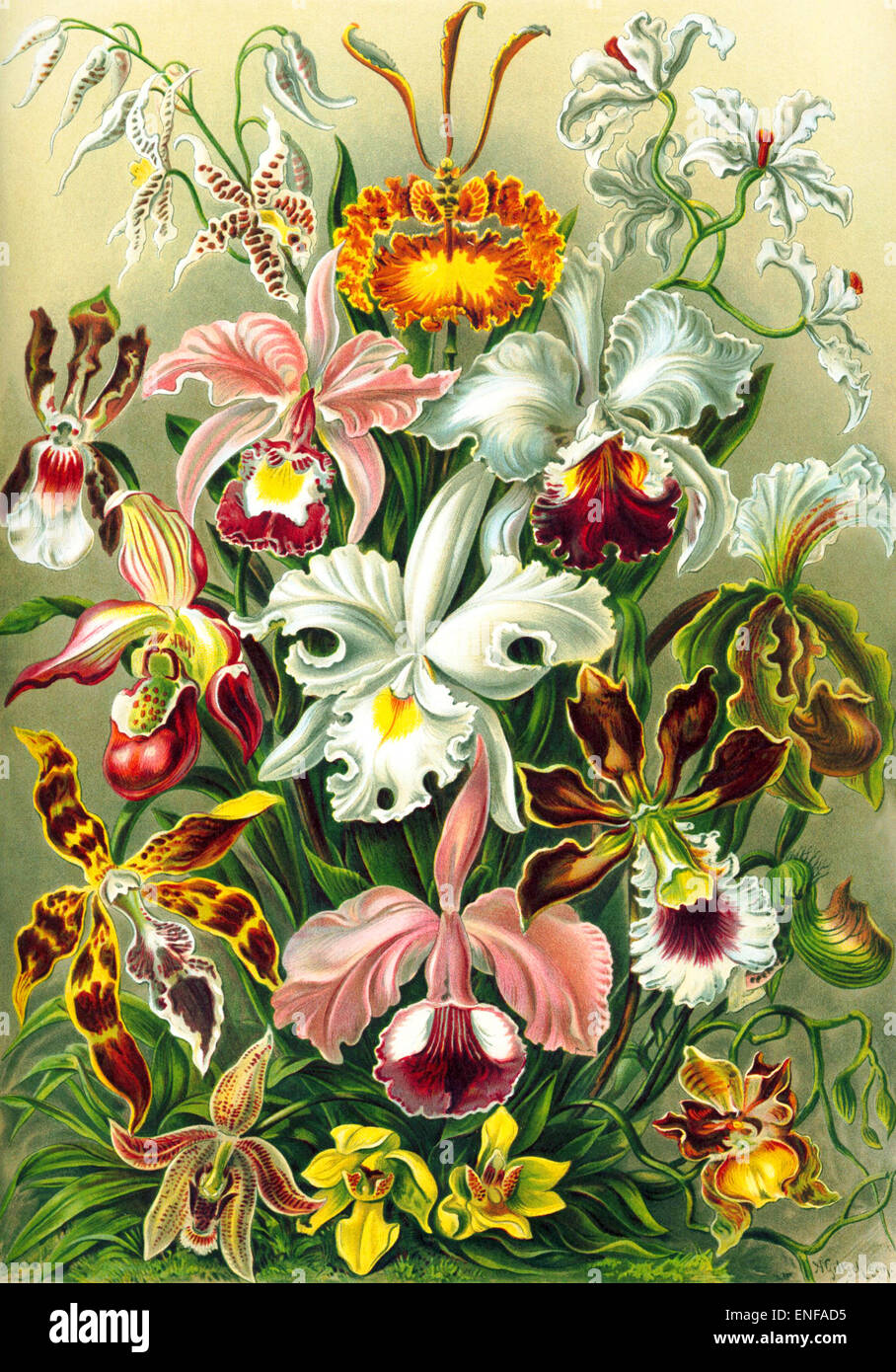 Orchidae (Orchideen), von Ernst Haeckel, 1904 - nur zur redaktionellen Verwendung. Stockbild