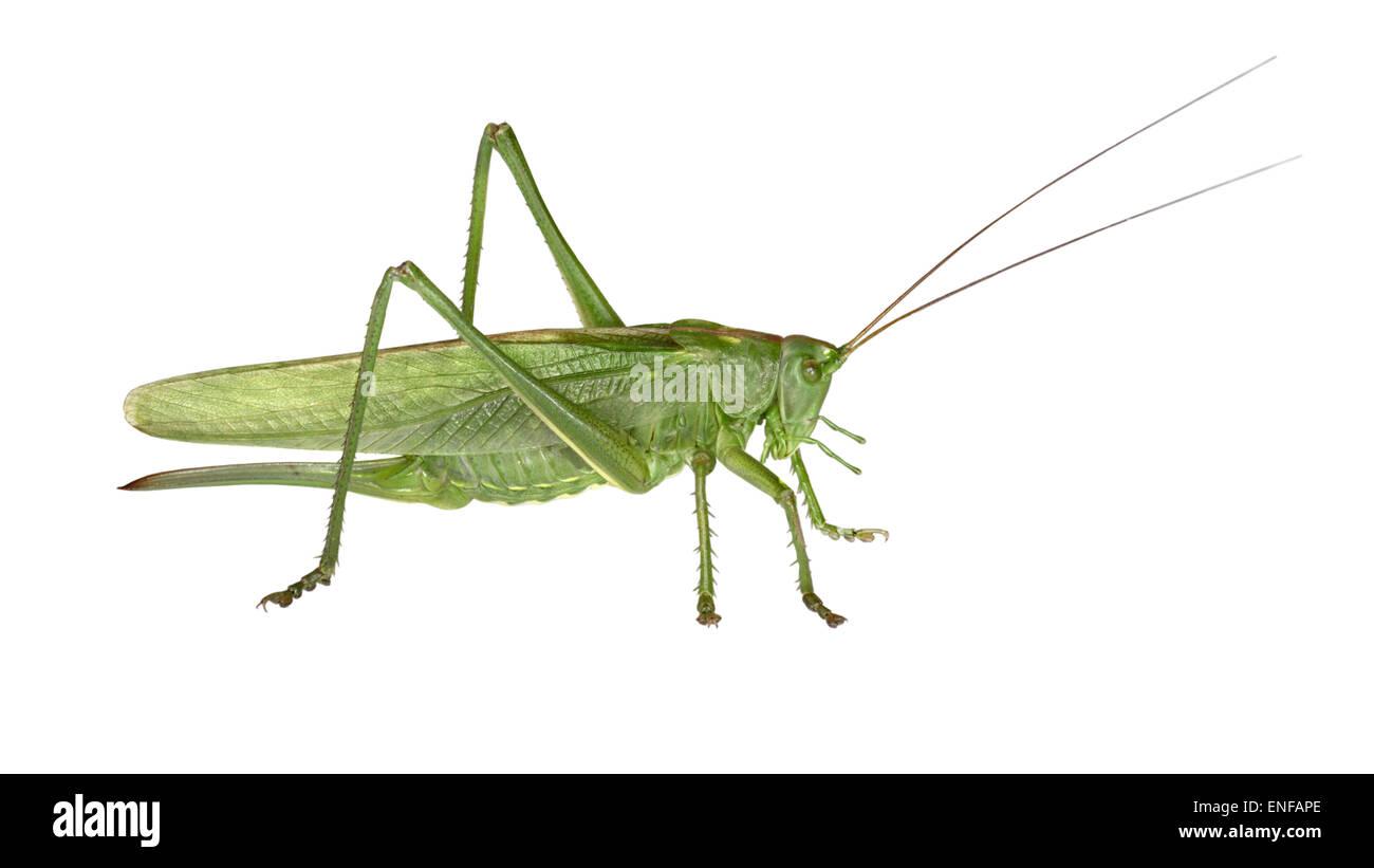 Große grüne Bush-Cricket - Tettigonia viridissima Stockbild