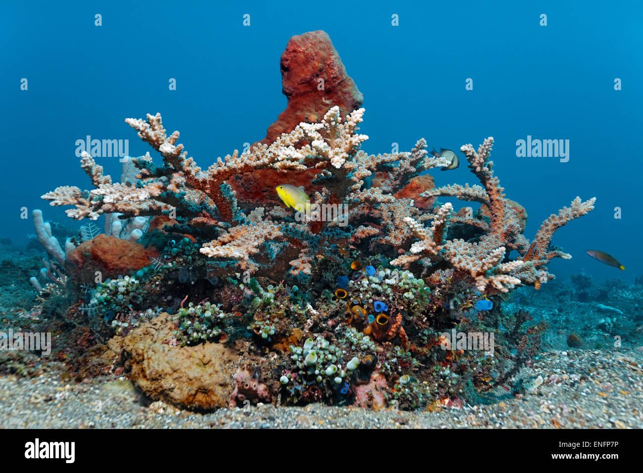 Kleinen Korallenriff mit verschiedenen Korallen, Seescheiden, Schwämme und Fisch, Bali Stockbild