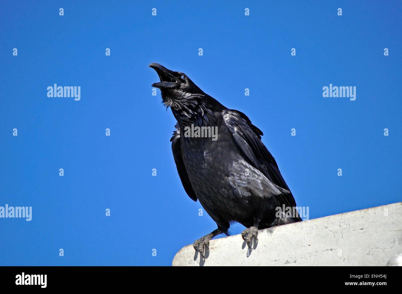 Kolkrabe Corvus Corax, San Francisco, Kalifornien Stockbild