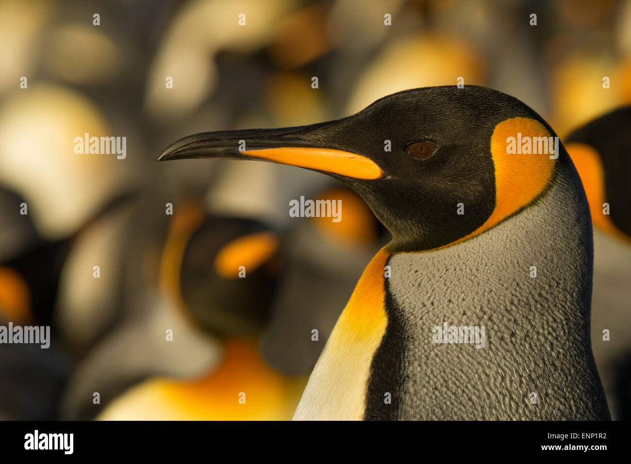 Nahaufnahme der Erwachsenen König Pinguin, Falkland-Inseln Stockbild