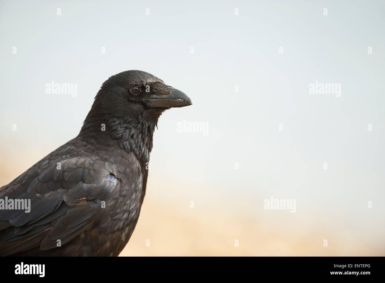 Nahaufnahme einer AAS-Krähe, UK Stockbild