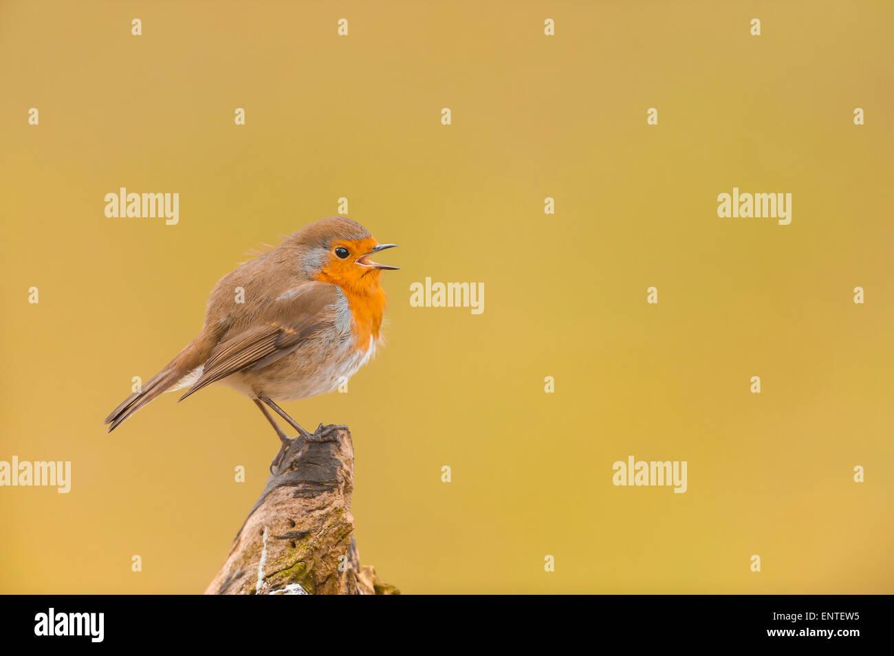 Nahaufnahme Portrait von ein kleiner Robin Vogel (Erithacus Rubecula) singen in einem Garten, UK Stockbild