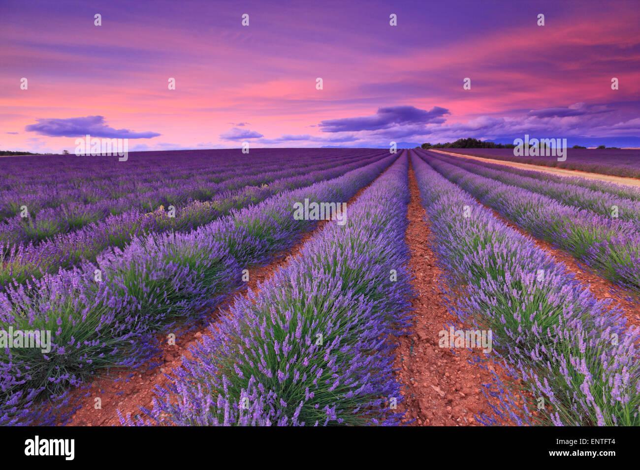 Lavendel-Feld mit rosa Wolke Sonnenuntergang. Frankreich, Provence. Stockbild