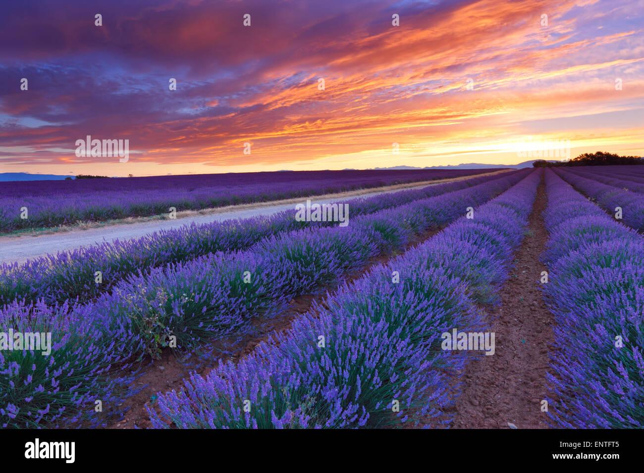 Sonnenaufgang über dem Lavendelfeld in Valensole, Provence, Frankreich Stockbild