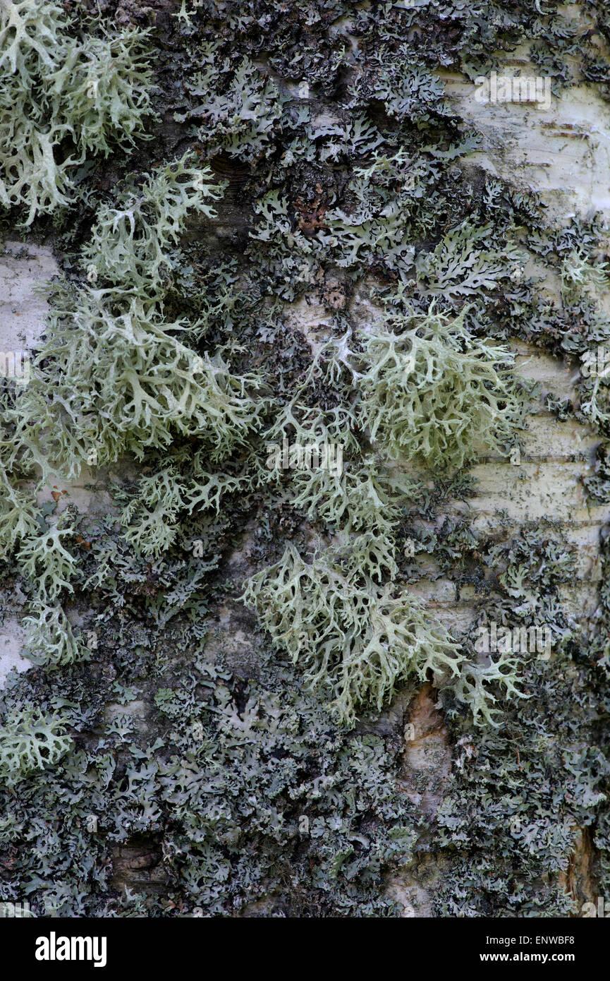 Flechten Sie auf einer Silber-Birke in Schottland. Nicht parasitäre Pflanze wie Organismus Stockbild