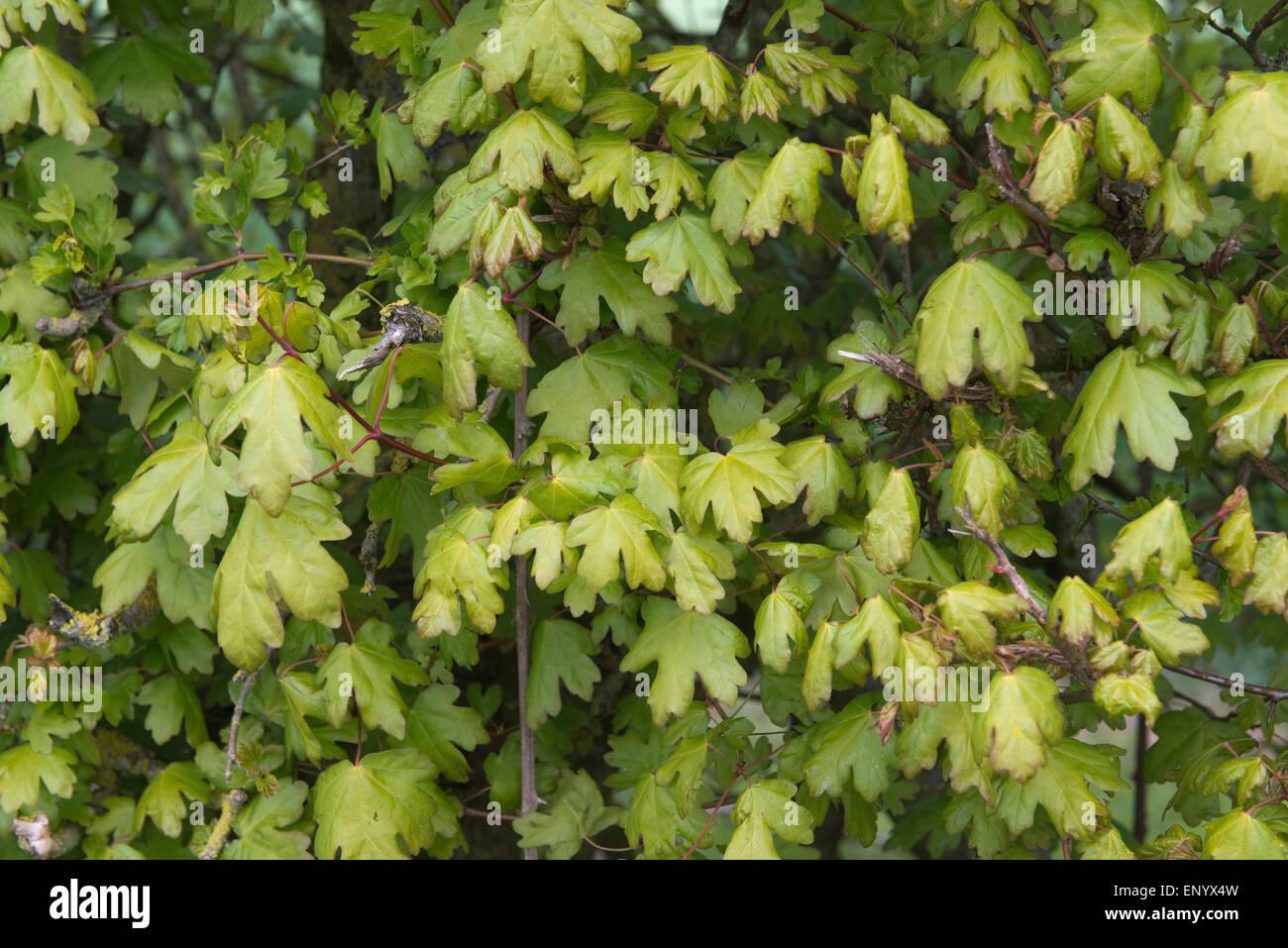 Acer Campestre Spring Stockfotos & Acer Campestre Spring Bilder