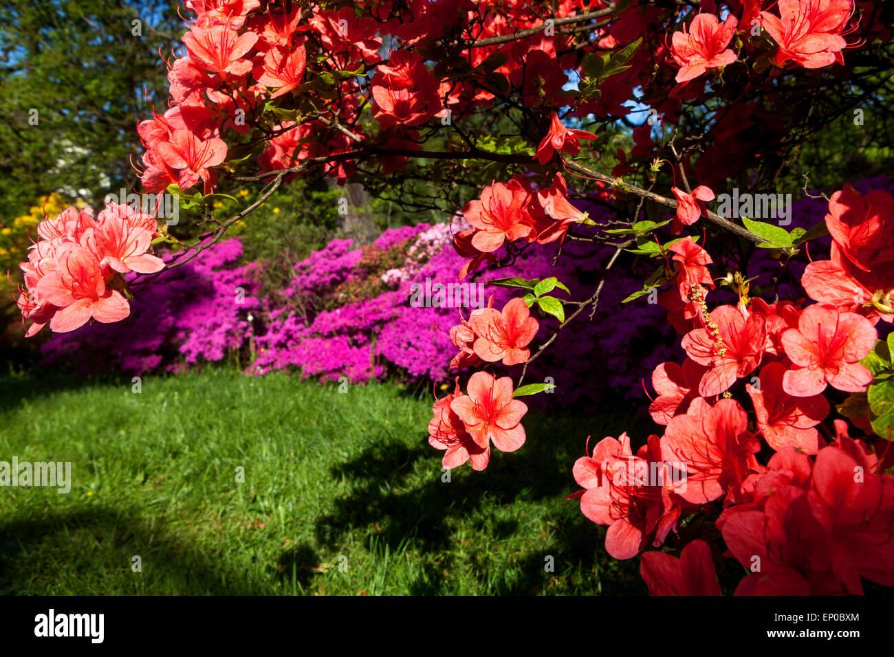 Orange Azalea, Rhododendron strauch Garden Flower Stockbild
