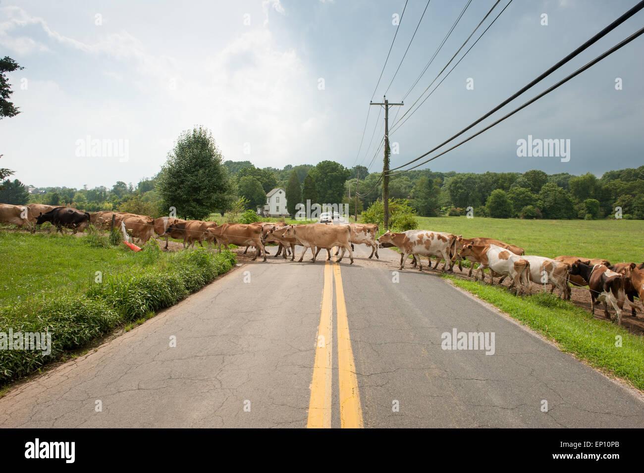 Milchkühe, die beim Überqueren der Straße in der Nähe von langen, grünen, Maryland, USA Stockbild