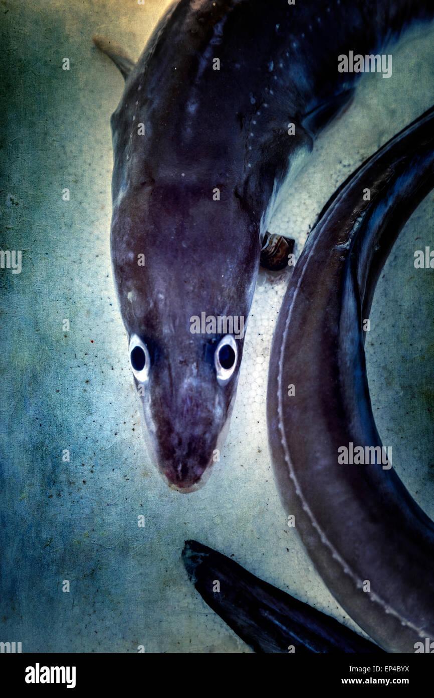 ein toter Aal mit großen Augen Stockbild